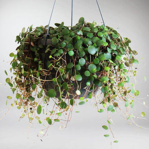Peperomia pepperspot | Peperomia pepperspot