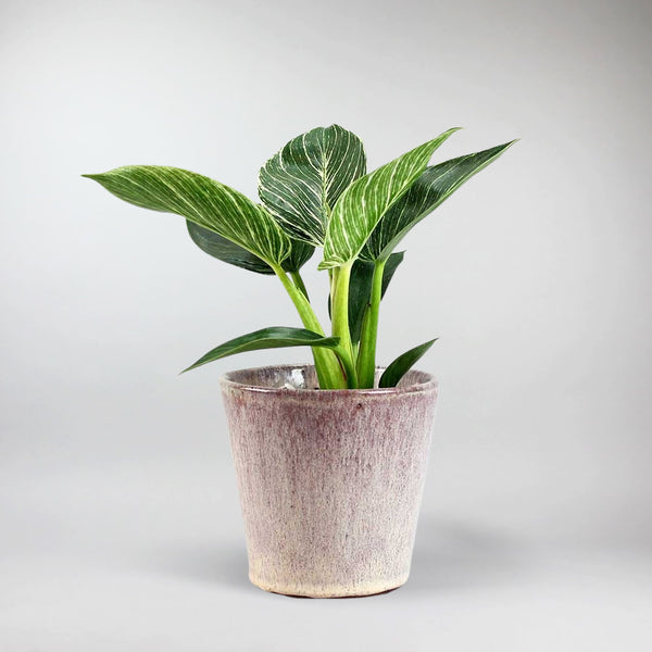 Philodendron Birkin 'White Wave' | Philodendron Birkin 'White Wave'