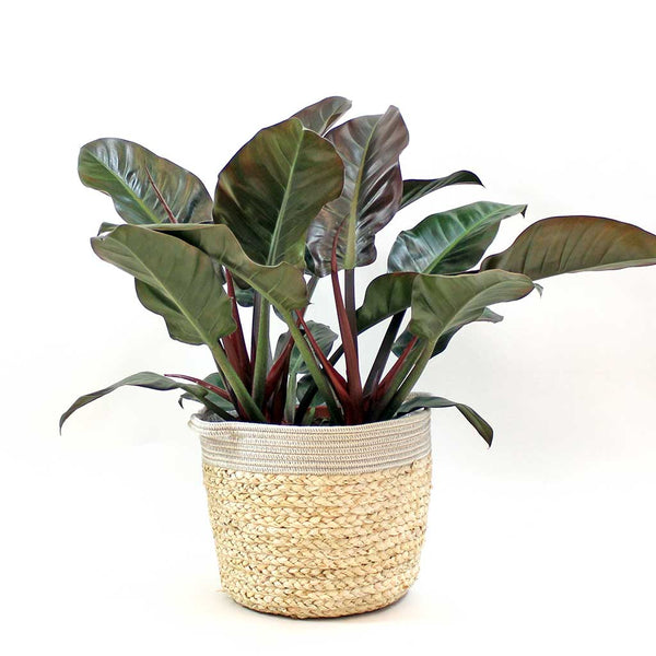 Extra Large Philodendron Imperial Red | Philodendron Imperial Red