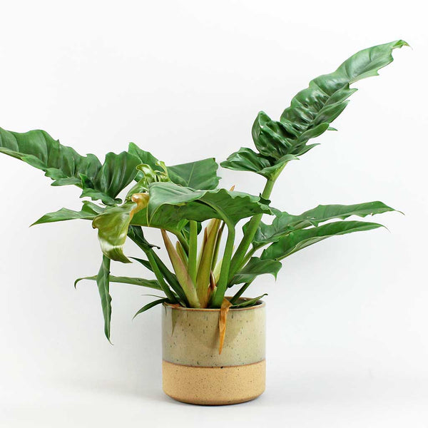 Philodendron Narrow Escape | Philodendron Narrow Escape