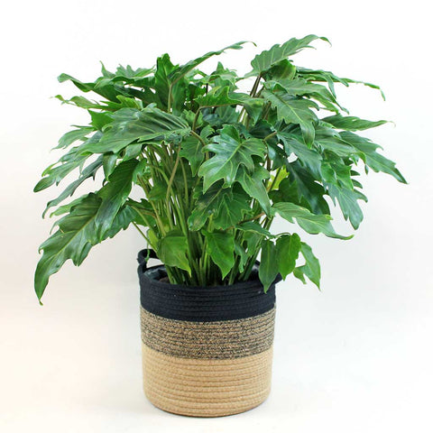 Large Philodendron Xanadu | Philodendron bipinnatifidum 'Winterbourn'