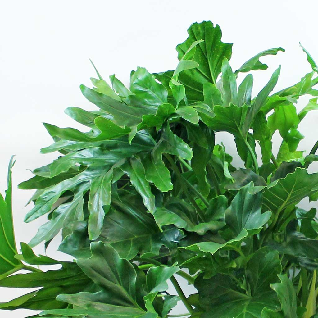 Extra Large Horsehead Philodendron Philodendron Bipinnatifidum Bloombox Club