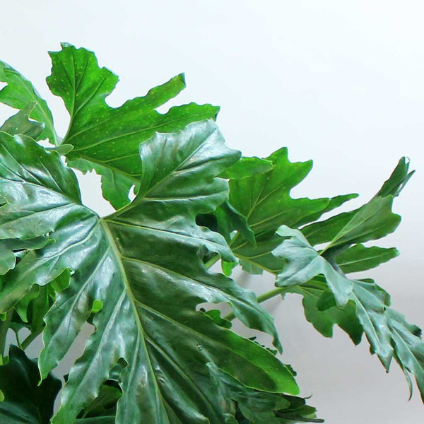 Extra Large Horsehead Philodendron | Philodendron bipinnatifidum