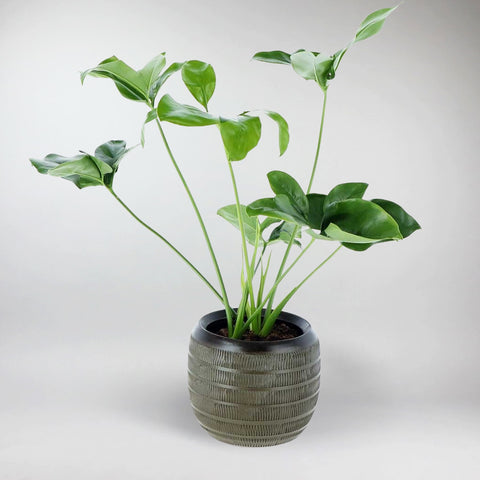 Philodendron Green Wonder | Philodendron Green Wonder