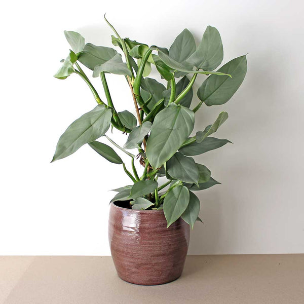 Silver Sword Philodendron | Philodendron hastatum