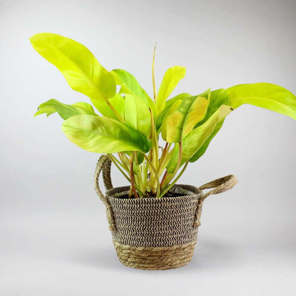 Golden Goddess Philodendron | Philodendron 'Malay Gold'