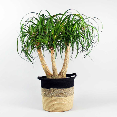 Large Ponytail Palm (27cm) | Beaucarnea recurvata
