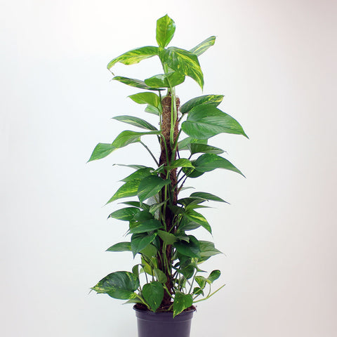 Golden Pothos (24cm) with Moss Pole