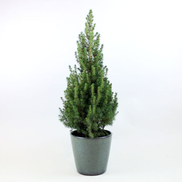 Prickly Pine | Picea glauca 'Conica December'