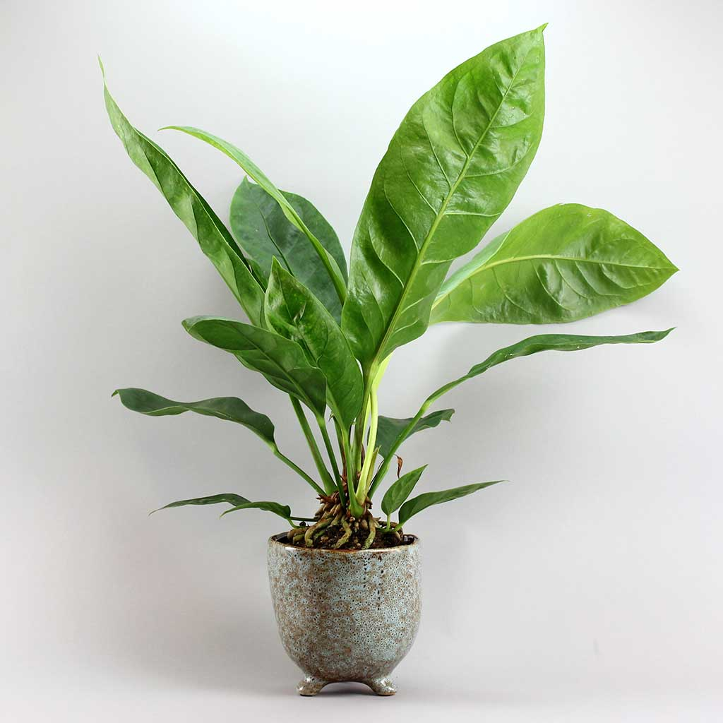 Jungle King & Quail Pot | Anthurium Jungle King with Quail Pot Large