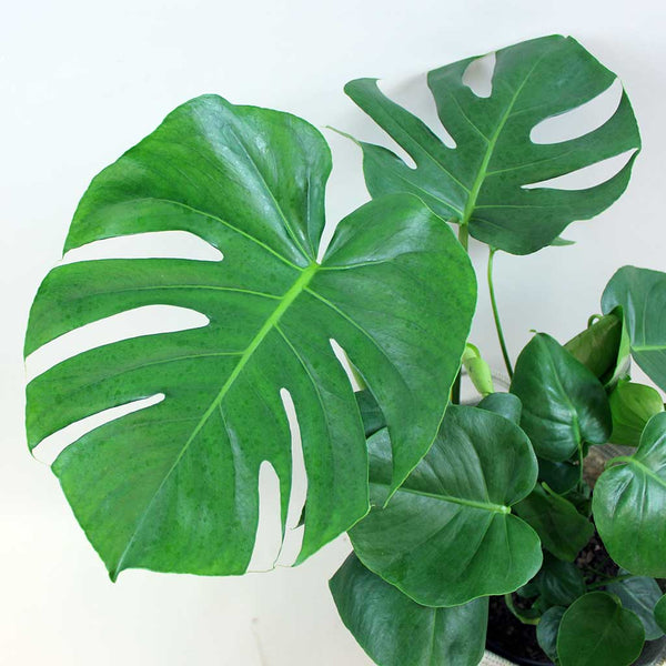 Extra Large Swiss Cheese Plant with Moss Pole | Monstera deliciosa