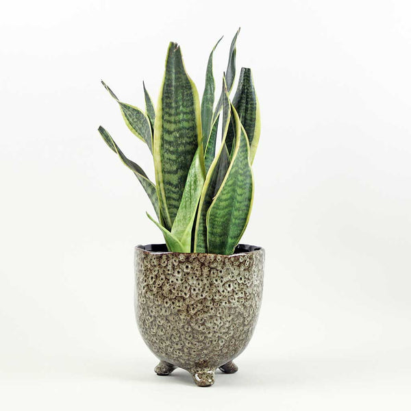 Medium Mother-In-Law's Tongue Laurentii | Sansevieria Laurentii
