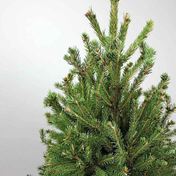 Big Prickly Pine | Picea glauca Super Green