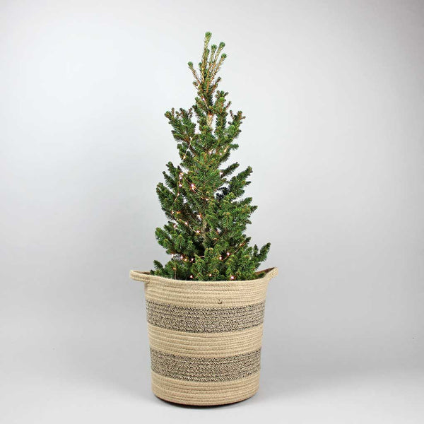 Deep Green | Picea abies Will's Zwerg