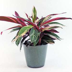 Calathea Triostar & Merry Pot | Large Calathea Triostar with Merry Pot Extra Large