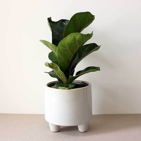 Fiddle Leaf Fig | Ficus lyrata 'Bambino'