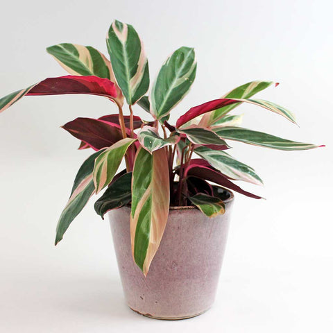 Calathea Triostar & Quartz | Large Calathea Triostar with Quartz Pot Extra Large
