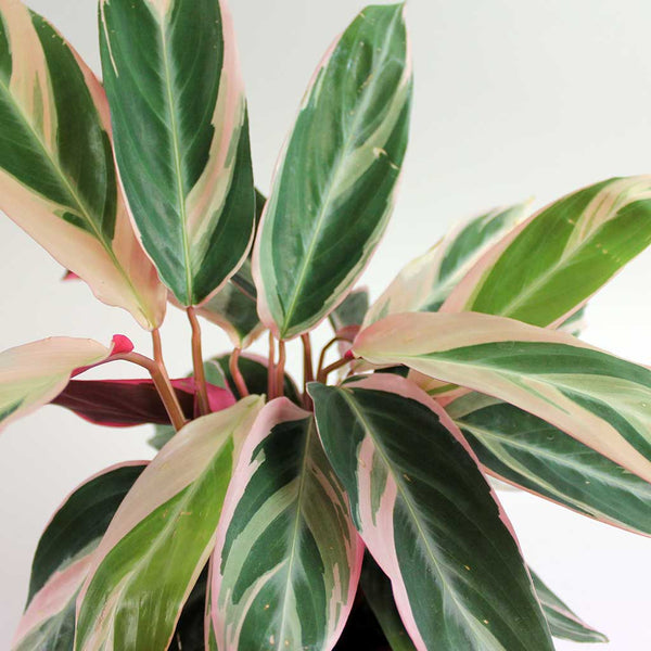 The Mother's Day Combo | Large Calathea Triostar with Quartz Pot Extra Large