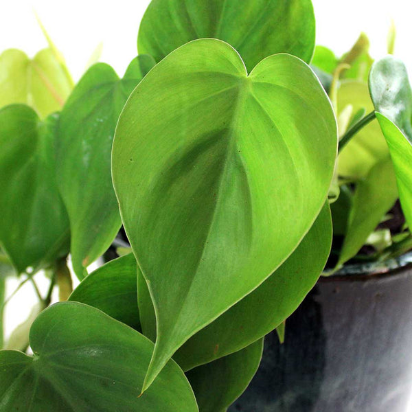Green Sweetheart Plant (12cm) | Philodendron scandens