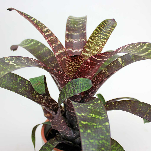 Vriesea Red Chestnut | Vriesea fosteriana 'Red Chestnut'