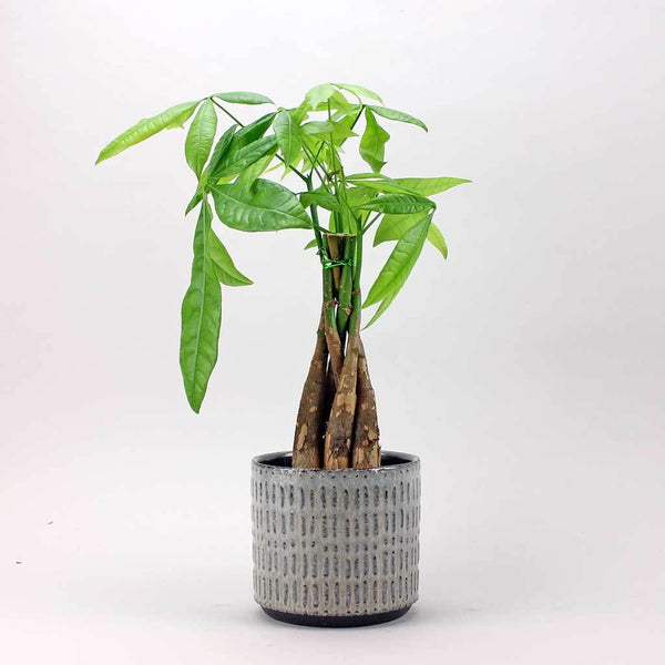 Money Tree (12cm) | Pachira Aquatica