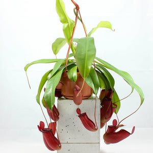 Monkey Cups Hanging Plant | Nepenthes 'Bloody Mary'