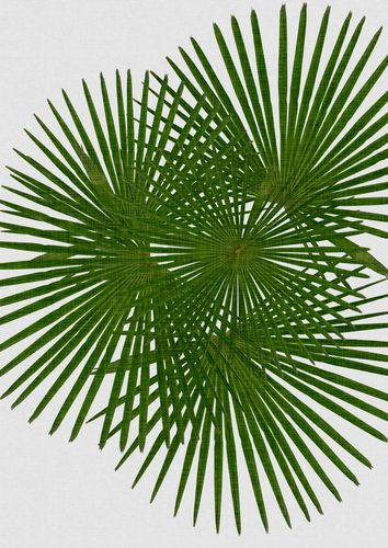 Canvas Fan Palm