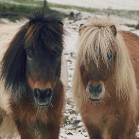 Canvas Mini Horses in the Snow - Galeria Impresionarte
