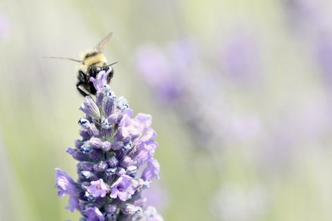 Canvas Lavender Bee