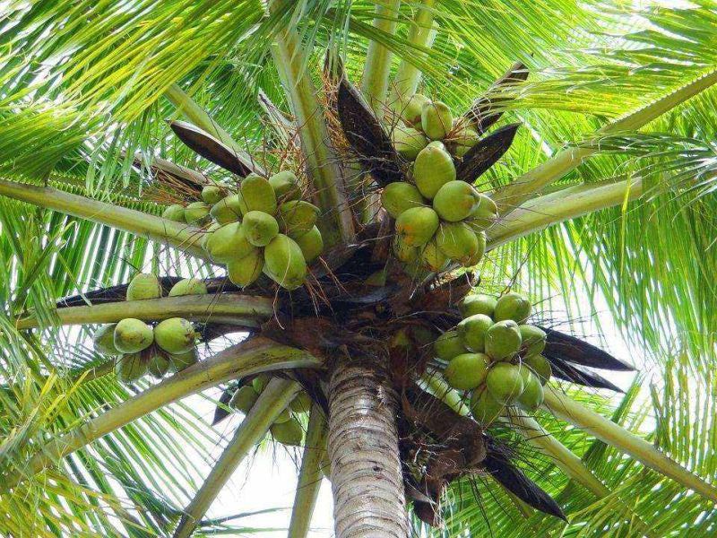 Palm tree with coconuts, the new super health food.