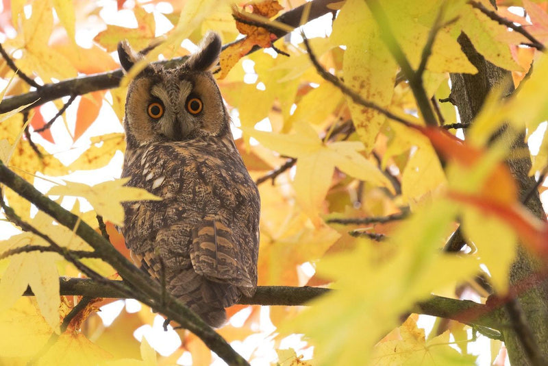Autumn Owl - 50 piece puzzle