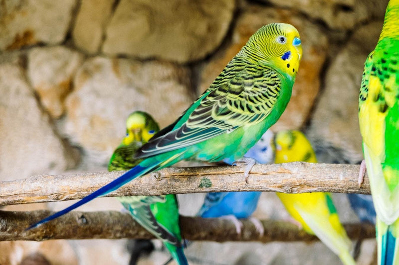 Colourful Budgies - 50 piece puzzle