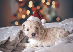 Puppy in Santa Hat - 50 piece puzzle