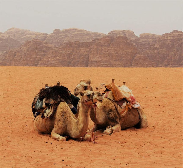 Resting Camels - 50 piece puzzle