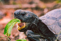 Tortoise Eating - 50 piece puzzle