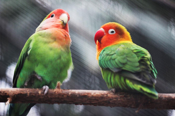 Two Parakeets - 50 piece puzzle