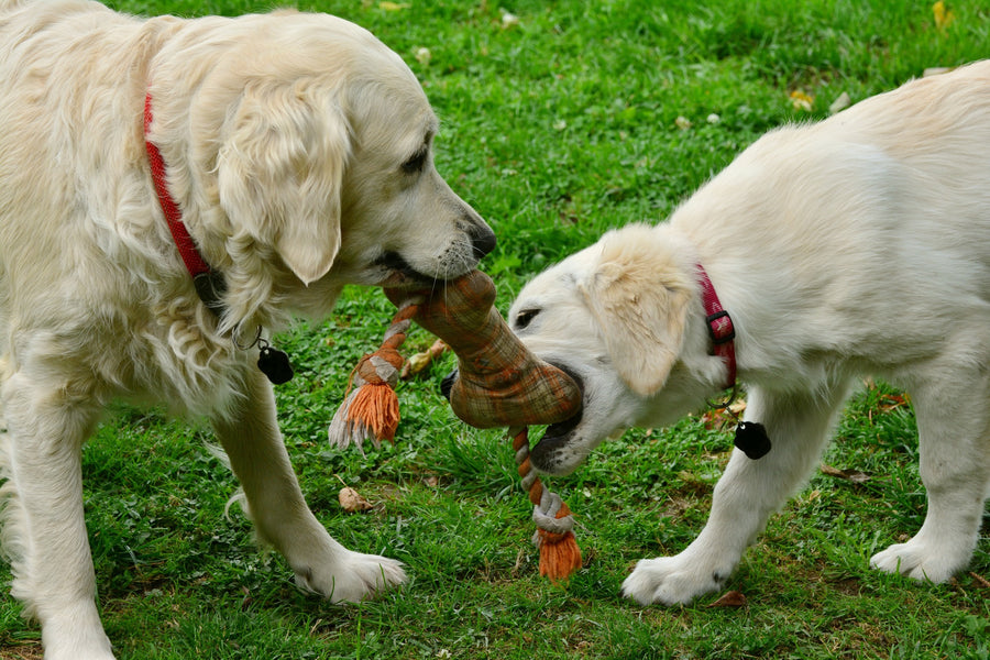 How to Play Dog Tug of War the Right Way: Steps You Need to Know
