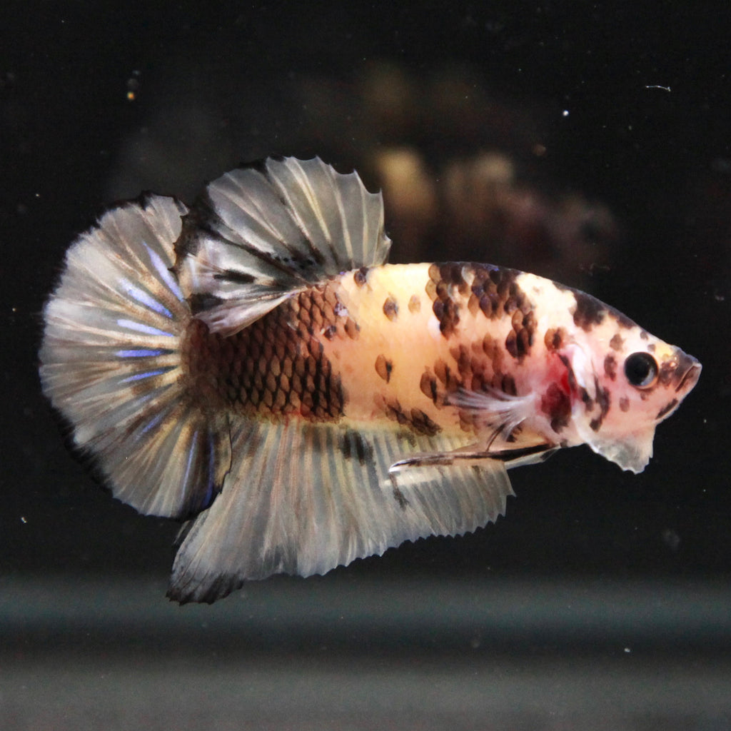 PREMIUM GIANT Yellow Tiger Koi HMPK