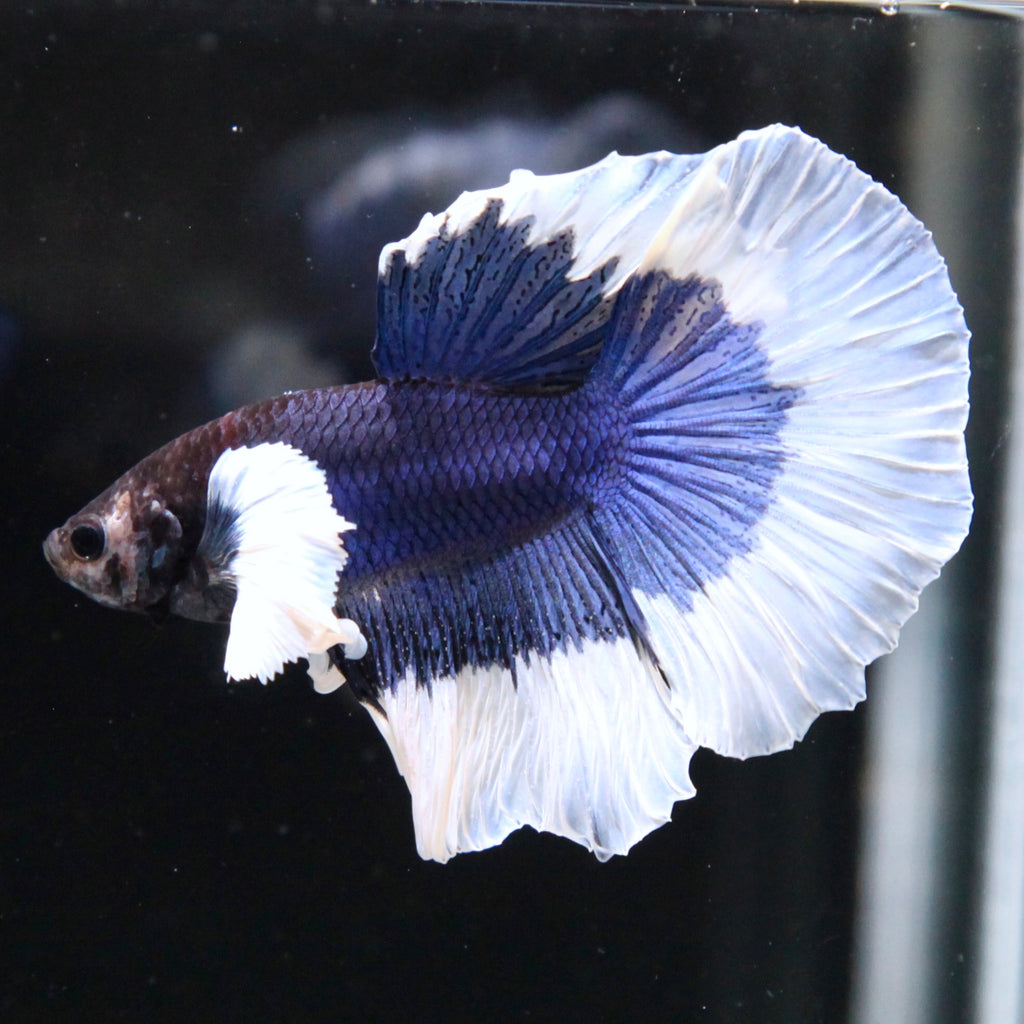Blue/Purple Dumbo Butterfly Halfmoon