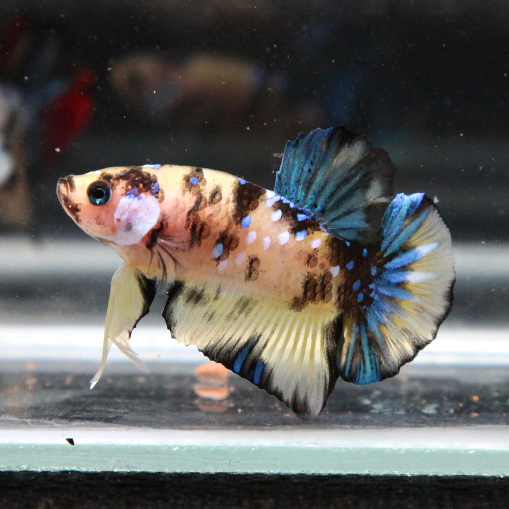 Yellow Koi Galaxy Startail HMPK
