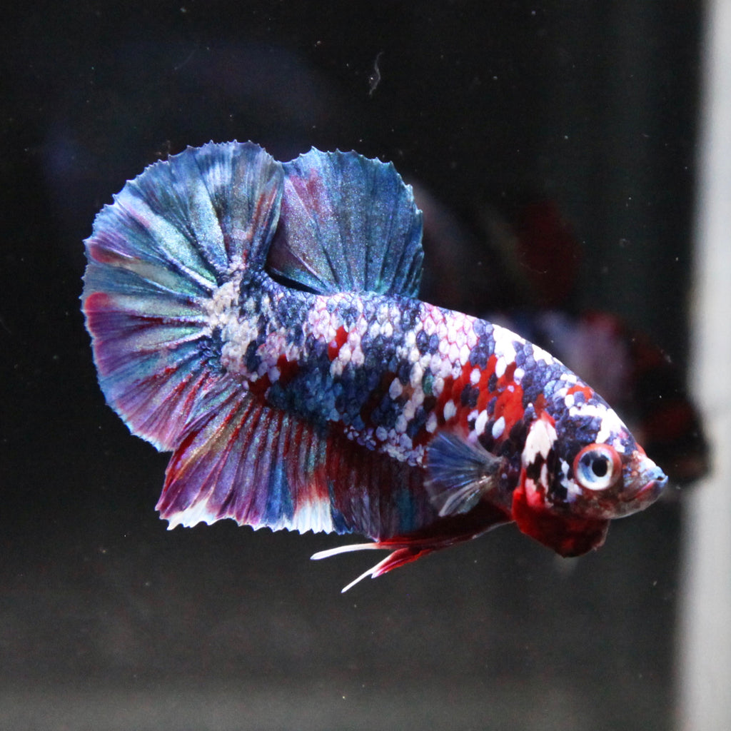 Blue/Purple Koi Galaxy HMPK