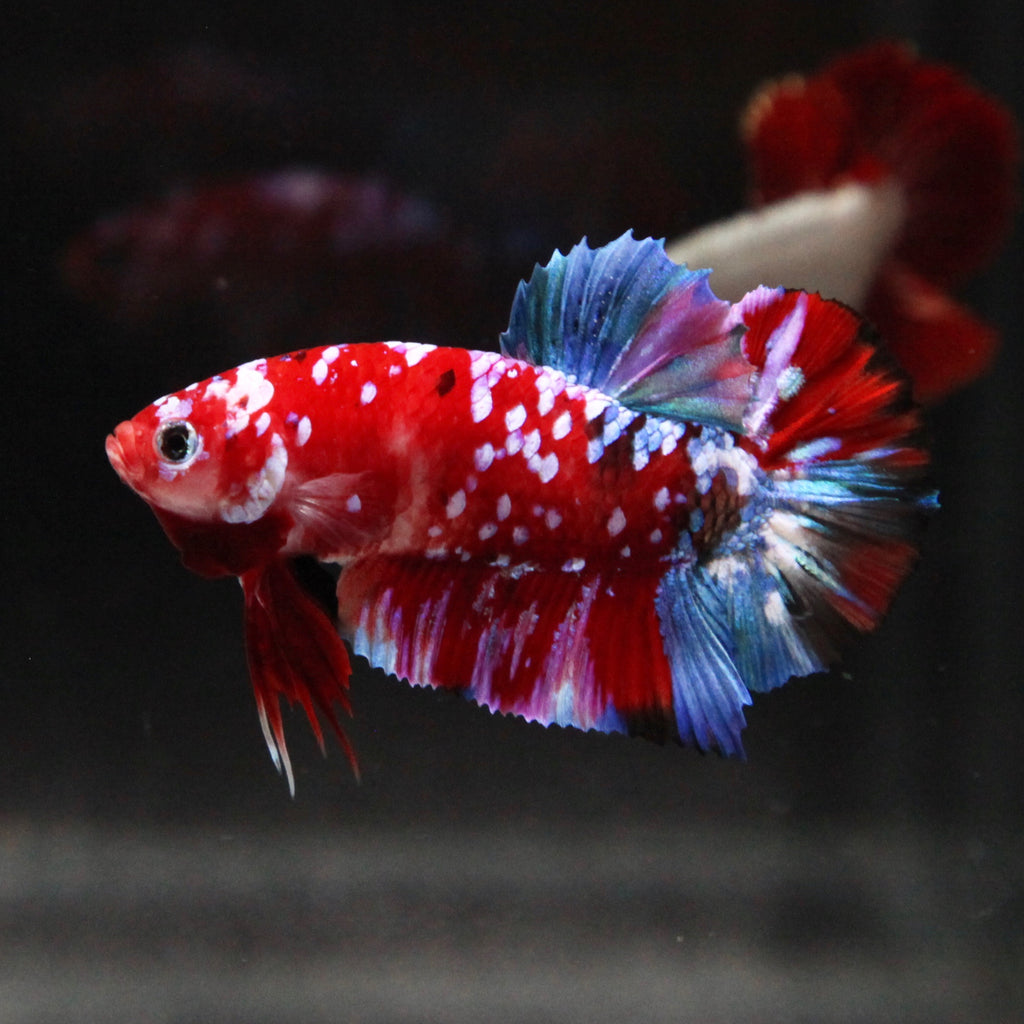 Red Galaxy Koi HMPK