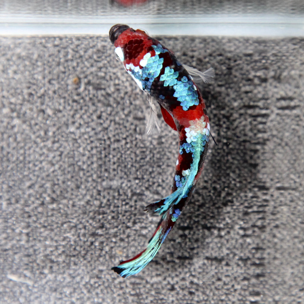 PREMIUM Giant Blue/Red Tiger Koi Galaxy HMPK
