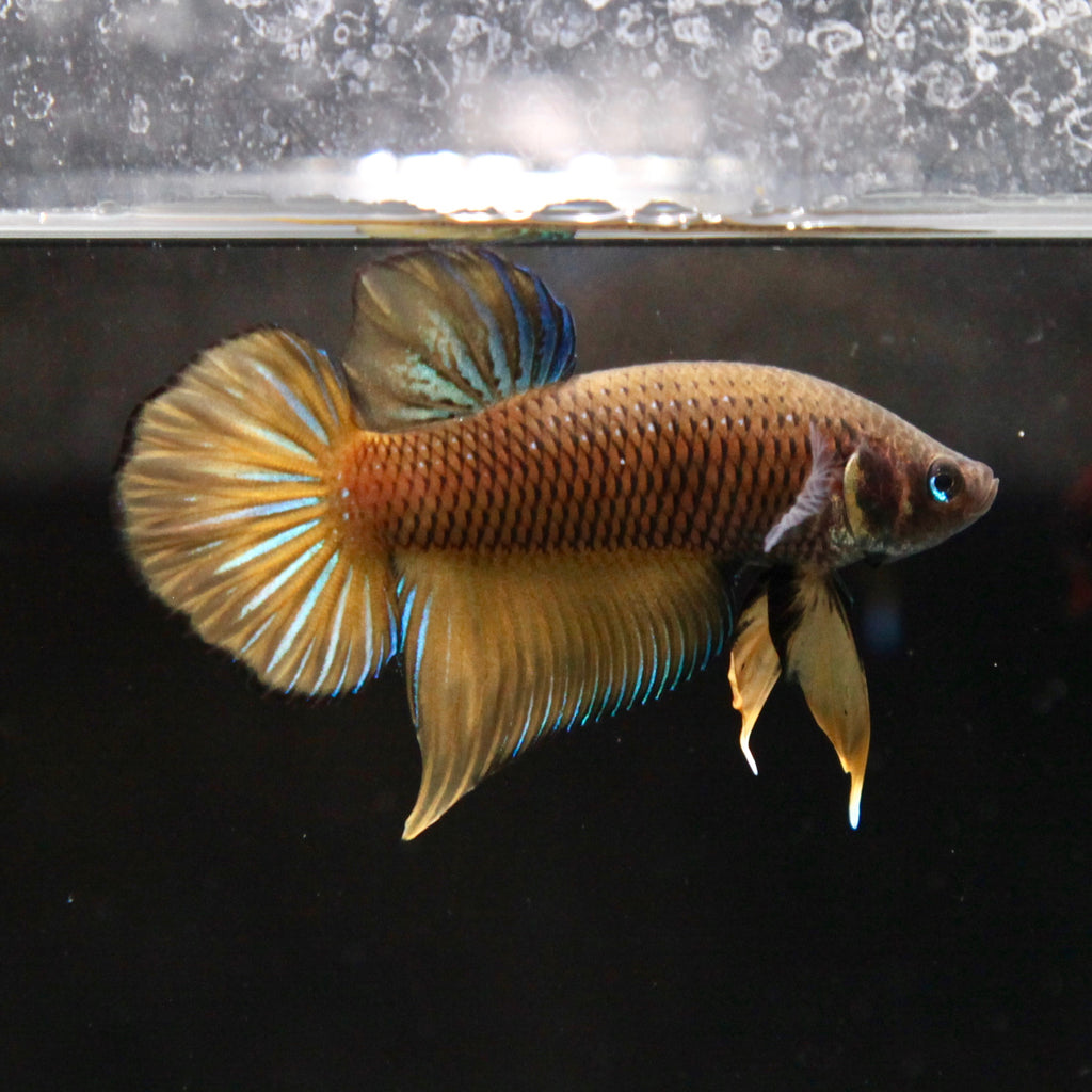 PREMIUM Yellow Betta splendens (WILD STRAIN)