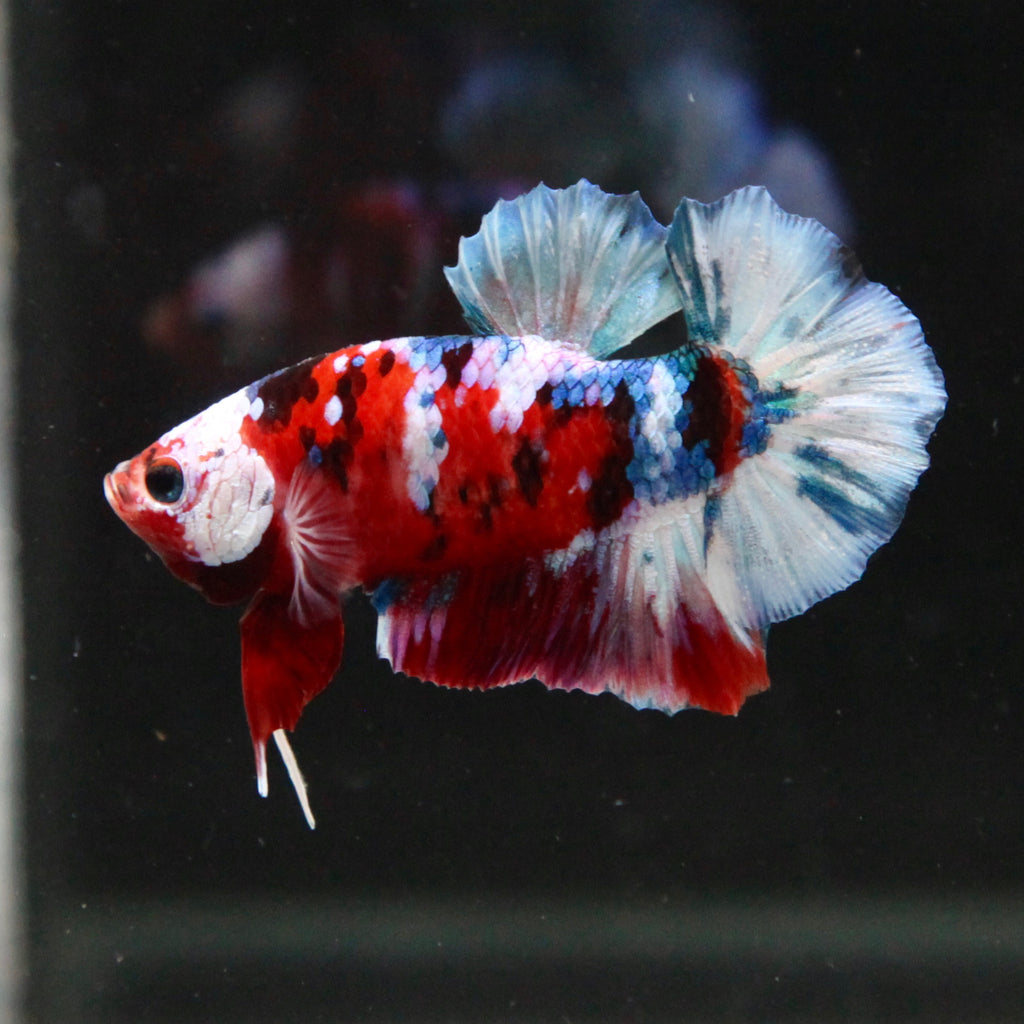 PREMIUM White Mask, Red/White Koi Galaxy HMPK