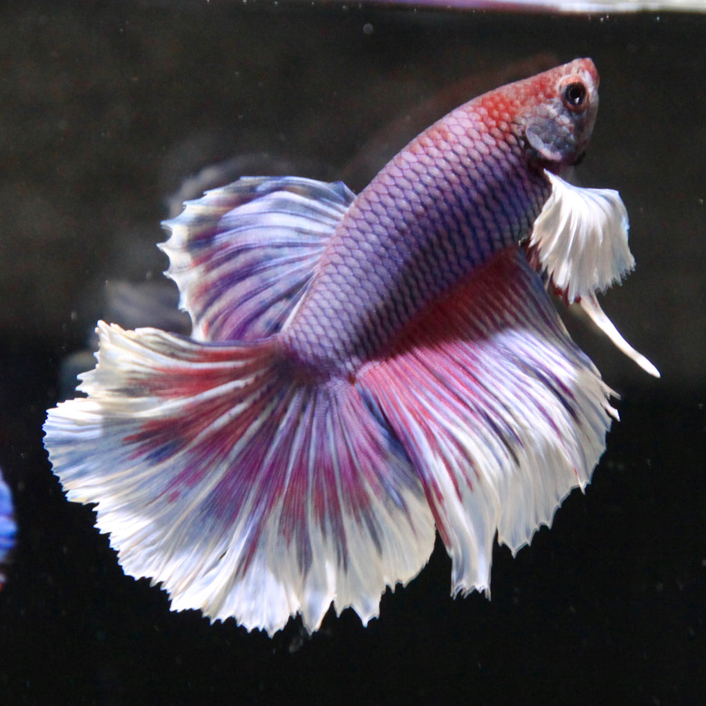 Purple/Pink Dumbo Halfmoon