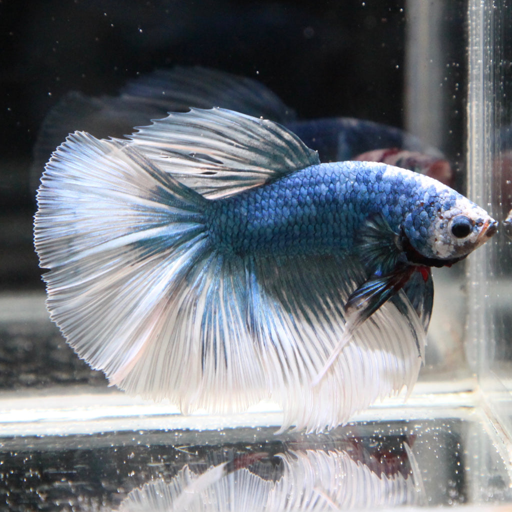 PREMIUM Blue/White Grizzle Halfmoon (RARE COLOR MORPH)