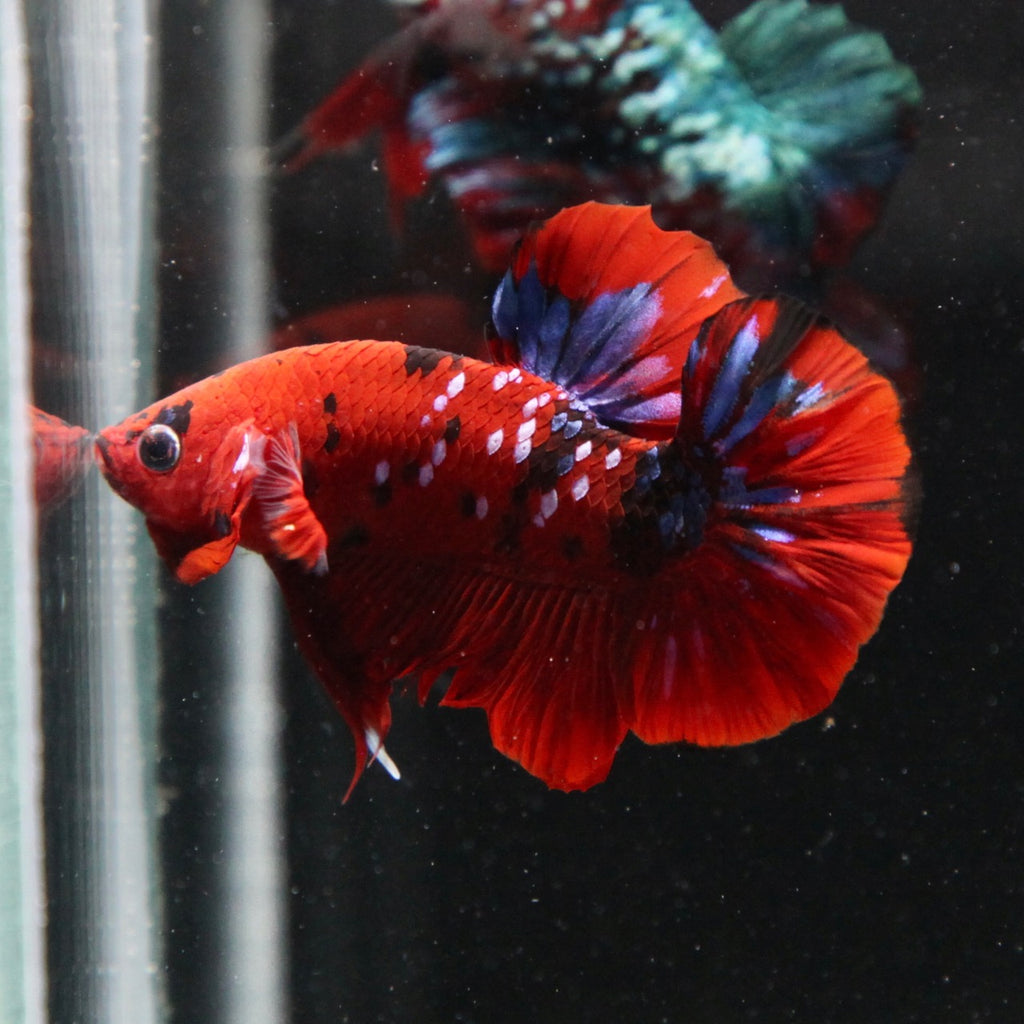 PREMIUM Red Tiger Galaxy Koi HMPK