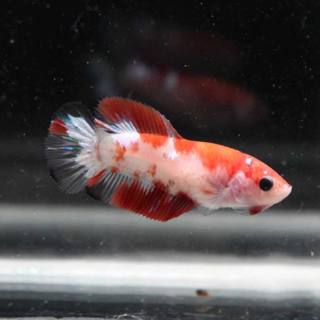 Orange Koi Galaxy HMPK