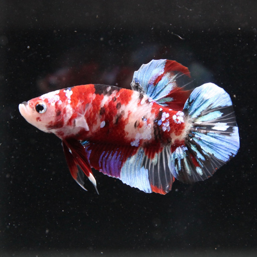 Blue/Red Koi Galaxy HMPK